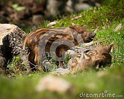 Baby Wild Boars (Sus scrofa)