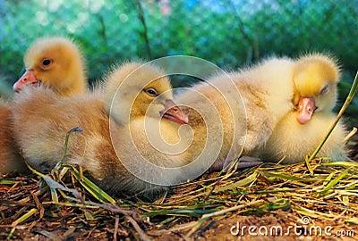 Baby Yellow Ducks