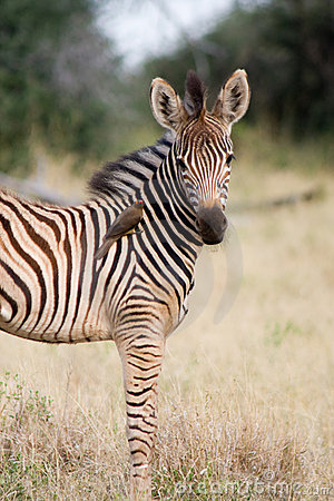 Free Baby Zebra Royalty Free Stock Photo - 4495565