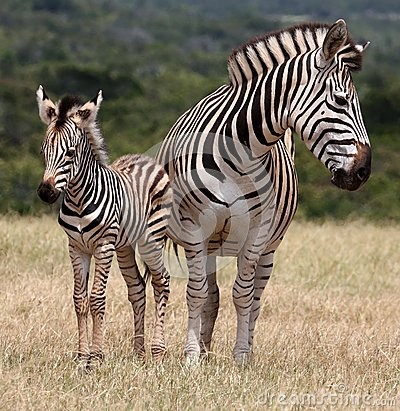 Free Baby Zebra And Mother Stock Photos - 37135933