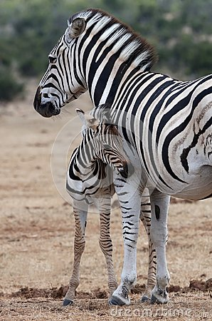 Free Baby Zebra And Mother Stock Images - 37878634