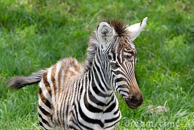Baby zebra at Lake nakuru national reserve