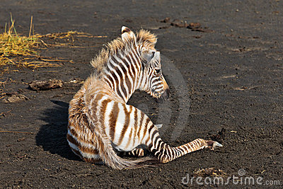 Baby zebra lying on the ground