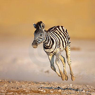 Free Baby Zebra Running Royalty Free Stock Images - 14895549