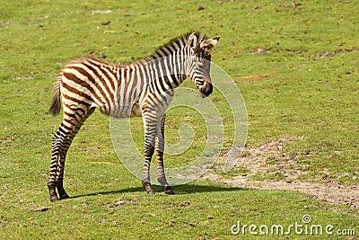 Baby zebra standing in the field