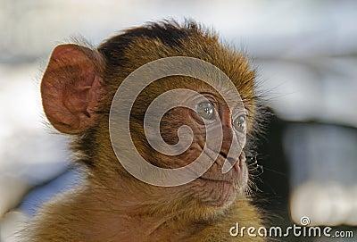 Babychimpansee