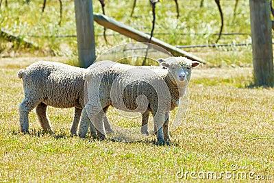 Babydoll sheep