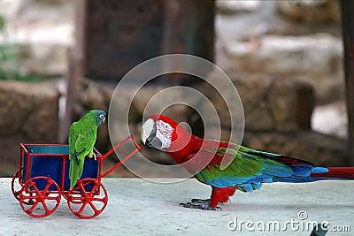 Babysitting parrot