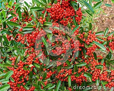 bacche rosse del pyracantha sul cespuglio fotografia stock
