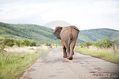 Back of elephant walking