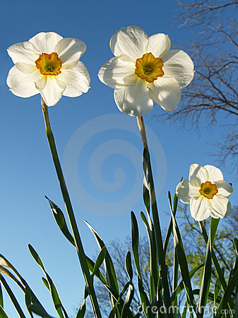 Free Back-lit Jonquils From Below, Spring Royalty Free Stock Image - 4395436