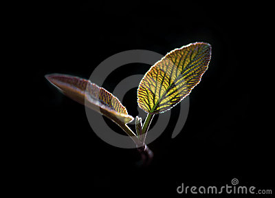 Back lit leaves