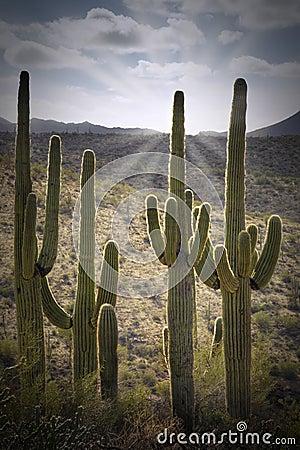 Free Back Lit Saguaros Stock Images - 104628204