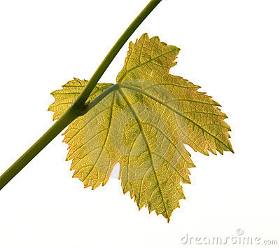 Back-lit Vine Leaf