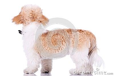 Back of a shih tzu puppy standing
