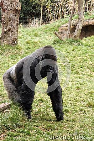 Back silver gorilla