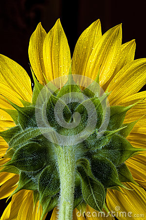 Back of sunflower.
