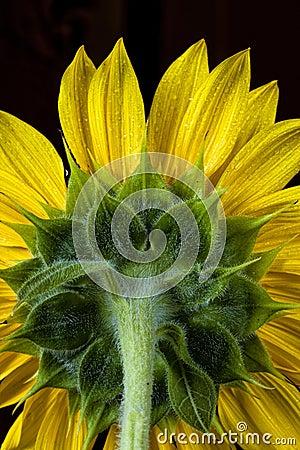 Back of sunflower.