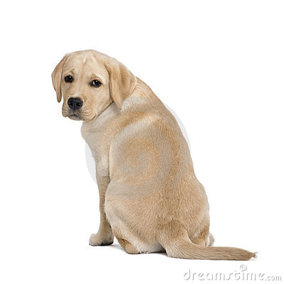 Back view of a Cream Labrador puppy, 14 weeks old.