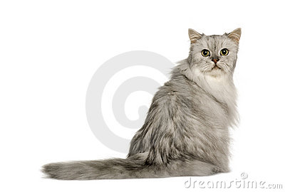Back view of Old Silver Persian cat sitting