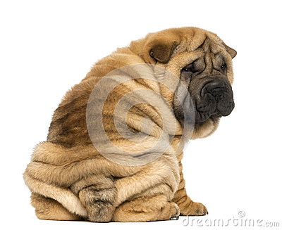 Back view of a Shar pei puppy sitting and looking at the camera