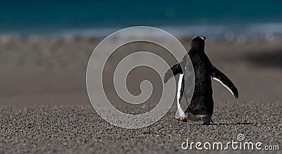 Back of Walking Gentoo Penguin