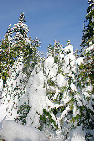 Backcountry winter pines
