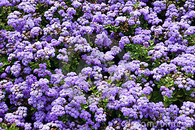 Background with ageratum flowers