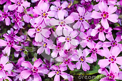 Background of beautiful purple flowers