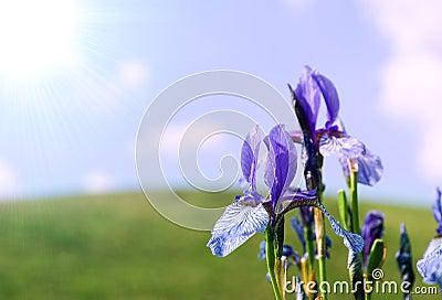 Background with blue iris