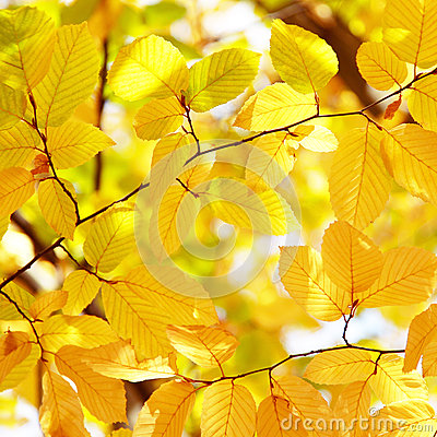 Background of bright yellow leaves in autumn