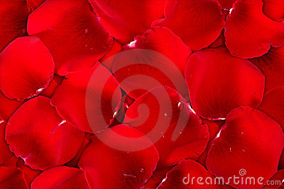 Background dark red of rose petals