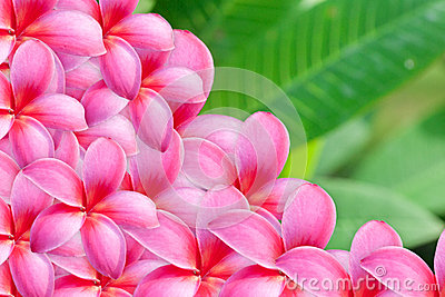 Background of frangipani flower