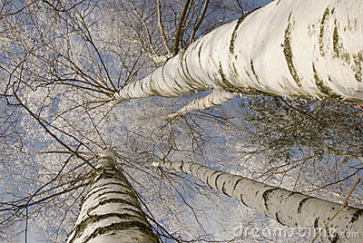 Background of frosty birch tree trunk branch