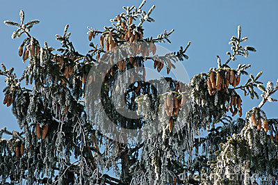 Background of frozen branch pine-tree (Pinus)