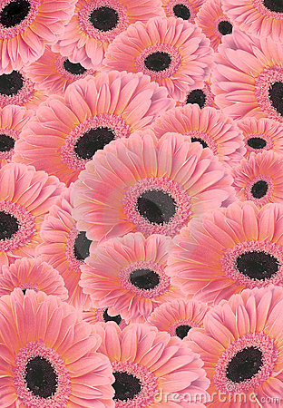 Background of Gerber flowers.