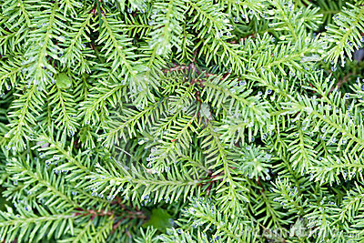 Background of green branches with needles fir tree