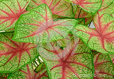 Background of Green leave red veins