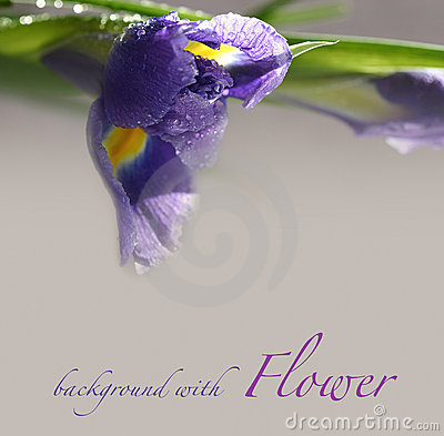 Background with iris flower