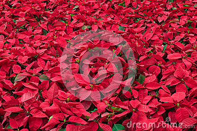 Background of many poinsettia flowers