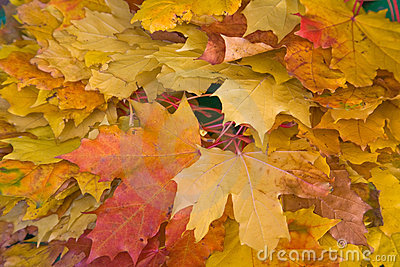 Background of maple leaves