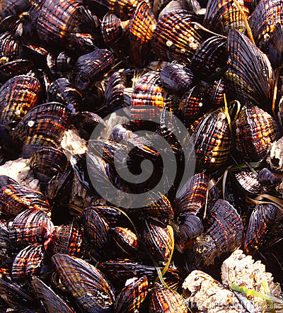 Background of mussels and barnacles exposed at low tide Stock Photo