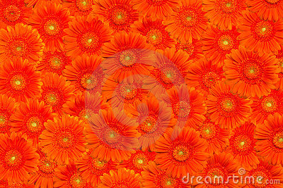 Background with orange gerberas