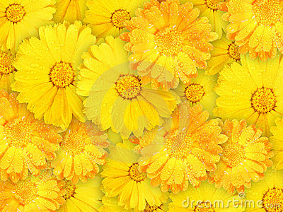 Background of orange and yellow wet flowers