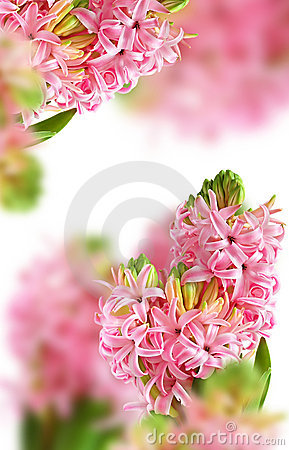 Background from pink hyacinth