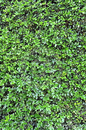 Free Background Texture Of A Green Hedge Royalty Free Stock Photography - 19105067