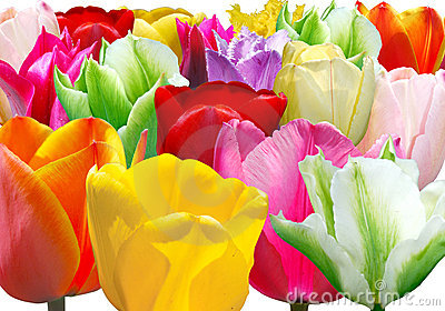 Background from varicoloured tulip
