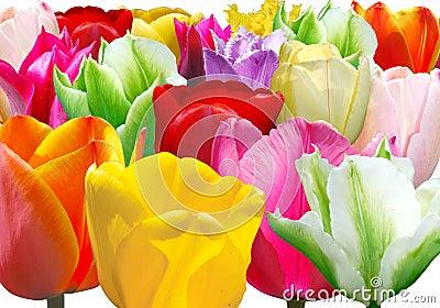 Background from varicoloured tulip