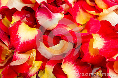 Background of various color rose petals