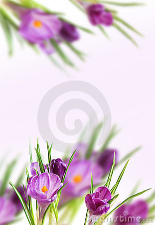 Background from violet crocuses